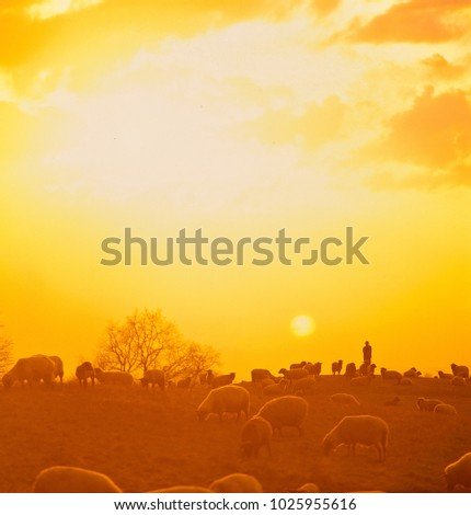 Sheperd with flock of sheep on hill in sunset #1025955616