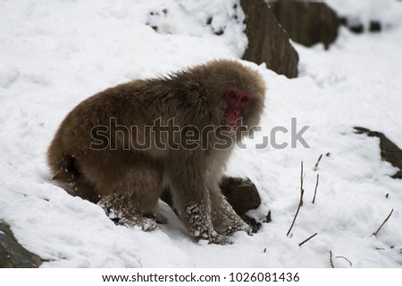 Japanese macaque or snow monkeys, ( Macaca fuscata ), sitting on snow, with snow in background, looking right. Joshinetsu-Kogen National Park, Nagano, Japan #1026081436
