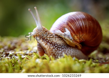 Helix pomatia also Roman snail, Burgundy snail, edible snail or escargot, is a species of large, edible, air-breathing land snail, a terrestrial pulmonate gastropod mollusk in the family Helicidae. Royalty-Free Stock Photo #1026233269
