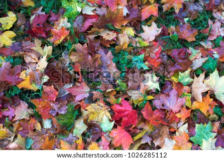 Multicolored maple leaves lie on green grass. Autumn. #1026285112
