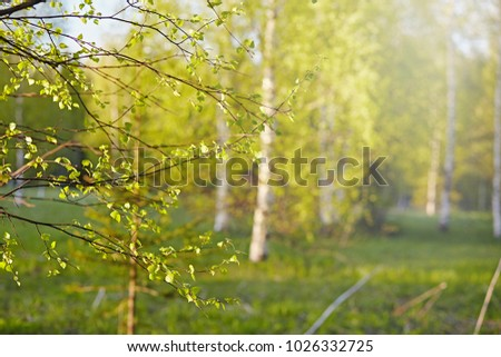 Birch forest in May on a sunny day. Background in nature in the spring. Salad leaves are young and bright colors in springtime. Lawn with green grass #1026332725