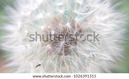 Dandelion fluffy close-up on a summer bright day