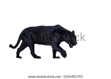 Black panther walks isolated on the white background