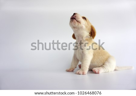 Adorable beagle white brown color is howl and look on above. And he sit with 2 back leg infront an isolate white background. There has copy space for text. Dog on white screen.               #1026468076