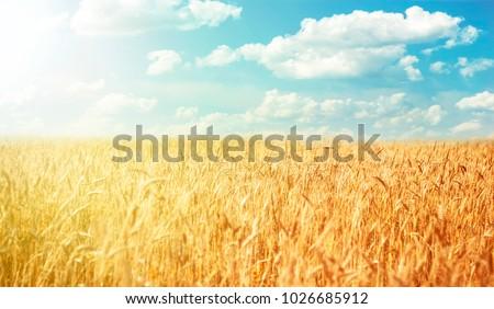 Beautiful rural landscape wheat field #1026685912
