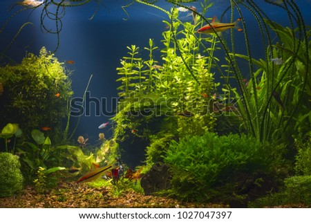 Green planted large tropical fresh water aquarium with small fishes in low key with dark blue background