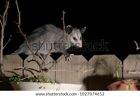 The Virginia opossum (Didelphis virginiana) walks by the fence at night.  Surprise Guest
