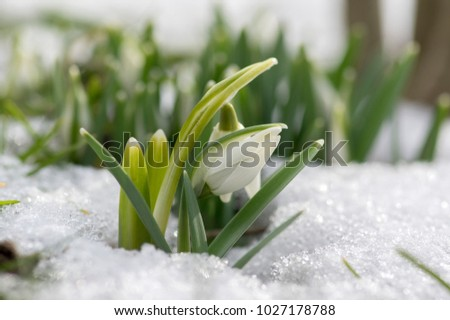 Galanthus nivalis, common snowdrop in bloom, early spring bulbous flowers in the garden growing in the snow #1027178788