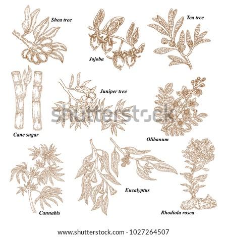 Medical and cosmetics plants. Hand drawn Shea nuts, Jojoba, Tea tree, Cane sugar, Juniper, Olibanum, Cannabis, Rhodiola rosea, Eucalyptus. Vector illustration engraved. #1027264507
