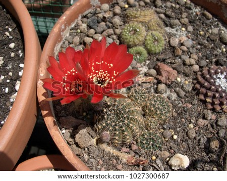 Red bloom of cactus #1027300687