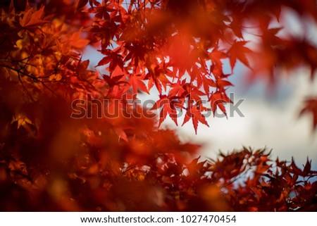 Autumn leaves , Leaf Maple Autumn Season Leaves Background. Colorful autumn forest. #1027470454