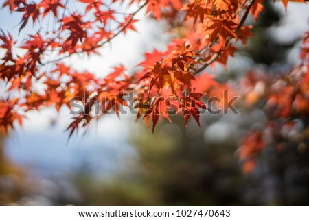 Autumn leaves , Leaf Maple Autumn Season Leaves Background. Colorful autumn forest. #1027470643