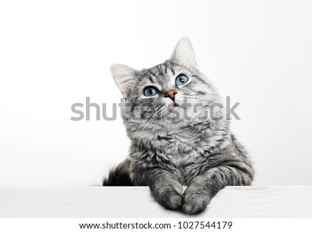 Close up view of Gray tabby cute kitten with blue eyes. Pets and lifestyle concept. Lovely fluffy cat on grey background. Royalty-Free Stock Photo #1027544179