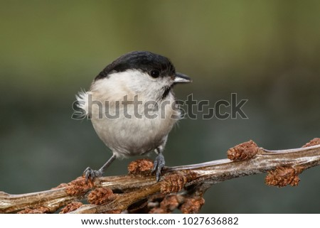 Marsh tit (Parus palustris) on a branch  of buckthorn. East Moravia. Europe. #1027636882