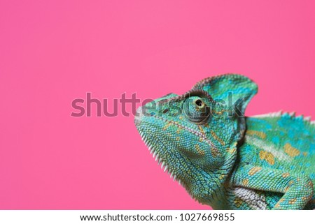 close-up view of cute colorful exotic chameleon isolated on pink #1027669855
