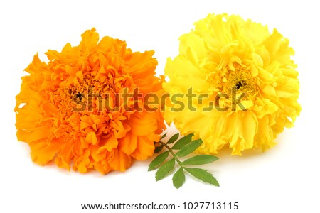 yellow Marigold flower, Tagetes erecta, Mexican marigold, Aztec marigold, African marigold isolated on white background #1027713115