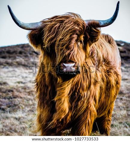 A highland cow #1027733533