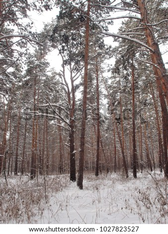 Winter Siberian forest, Omsk region  #1027823527