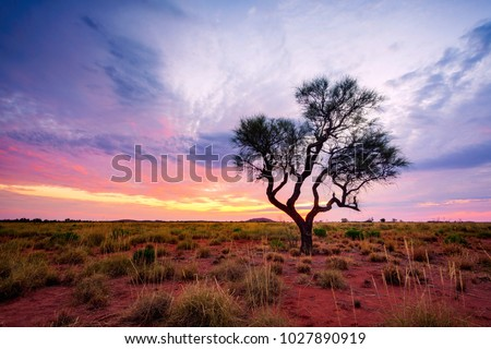 A Hakea tree stands alone in the Australian outback during sunset. Pilbara region, Western Australia, Australia. Royalty-Free Stock Photo #1027890919
