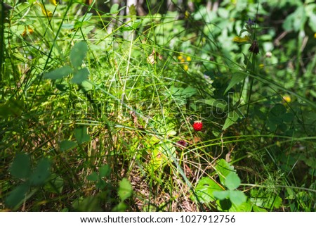 Closeup of wild strawberry growing in a forest #1027912756