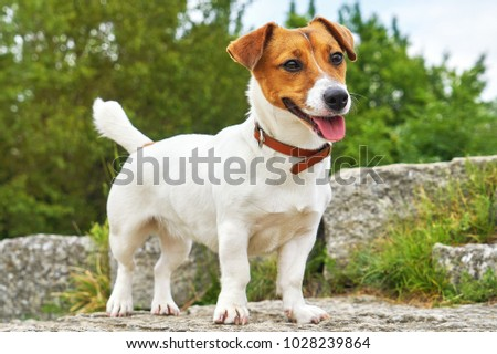 Portrait of Jack Russell Terrier. A dog in a clearing with green grass in a large beautiful city park at sunset on a sunny day closeup #1028239864