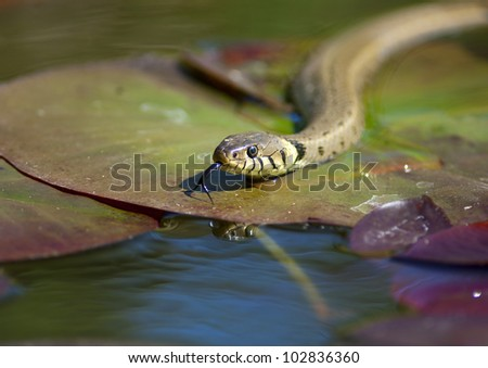 Grass snake - Natrix natrix Royalty-Free Stock Photo #102836360