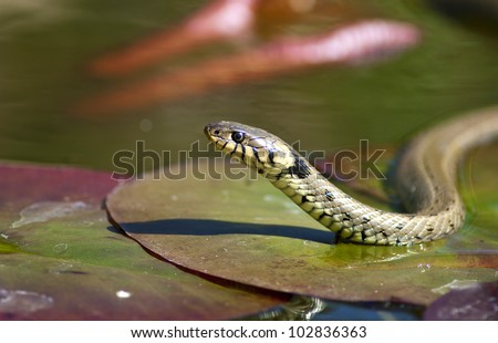 Grass snake - Natrix natrix Royalty-Free Stock Photo #102836363