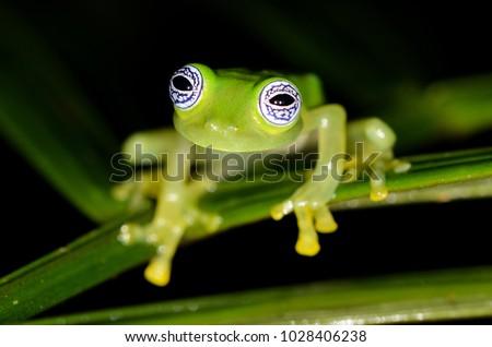 Ghost Glass Frog (Centrolene ilex), Rara Avis Reserve, Costa Rica #1028406238