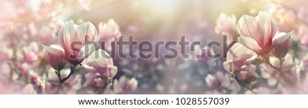 Beautiful flowering, blooming tree - beautiful blossomed magnolia branch in spring - magnolia flower