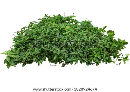 Green bush isolated on white background Royalty-Free Stock Photo #1028924674