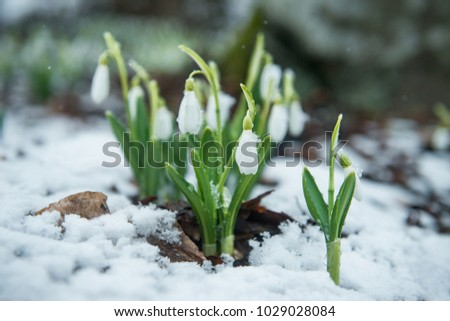White gentle snowdrops in the snow #1029028084