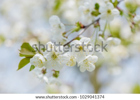 Cherry tree blossom close-up. White cherry flower on natural green and blue background. #1029041374