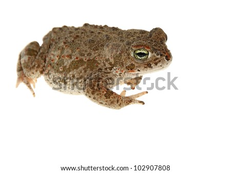 natterjack toad isolated on white background young #102907808