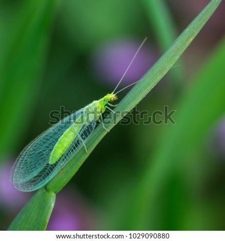 Chrysopa,  genus of green lacewings #1029090880