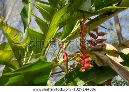 Heliconia spp.It is used as a flower cutter, potted plant and decoration. Both domestic and foreign varieties. Is a perennial wood. Has an underground stem Called rhizomes #1029144886