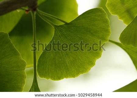 Ginkgo biloba, tree #1029458944