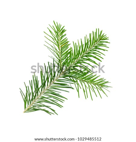 Spruce or Fir Branch Isolated on White #1029485512