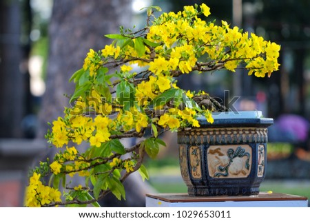 Ochna integerrima flower.  Ochna integerrima is symbol of Vietnamese traditional lunar New Year together with peach flower. Mai flower in Vietnames #1029653011