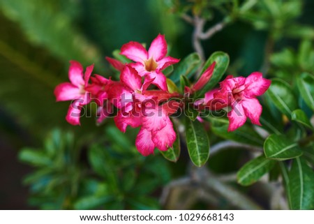 Close up of desert rose (pink adenium) tropical flower. Amazing background with tropical flovers on a natural blurred green foliage background. Summer blossoming bright flowers, floral background. #1029668143