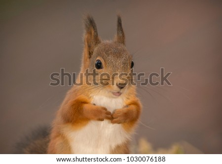closeup of the red squirrel  #1030076188