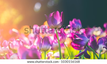 Group of colorful tulip. Purple flower tulip lit by sunlight. Soft selective focus, tulip close up, toning. Bright colorful tulip photo background
