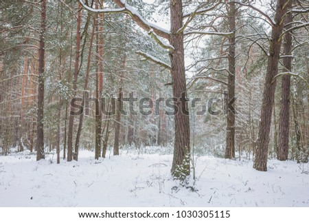 Winter in the Pine Forest. Nature in the vicinity of Pruzhany, Brest region, Belarus. #1030305115