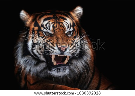 Sumatran tiger (Panthera tigris sumatrae) beautiful animal and his portrait Royalty-Free Stock Photo #1030392028