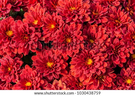 Brightly blooming red asters with the smell of autumn.  #1030438759