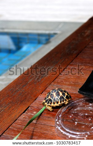 A Geochelone elegans, Indian Star Tortoise, is walking on the wooded tray on the table in the resort hotel in Khao Yai, Thailand. #1030783417