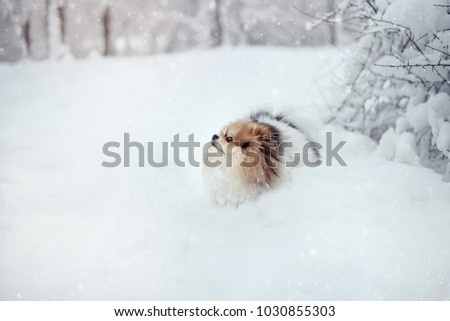 Little fluffy pomeranian dog playing with the snow in the forest in winter  #1030855303