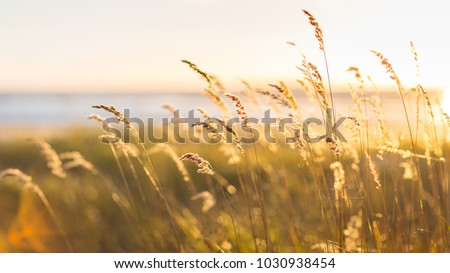 Selective soft focus of beach dry grass, reeds, stalks blowing in the wind at golden sunset light, horizontal, blurred sea on background, copy space/ Nature, summer, grass concept #1030938454