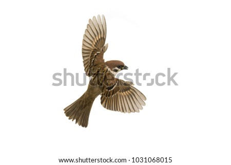 sparrow flies isolated on white