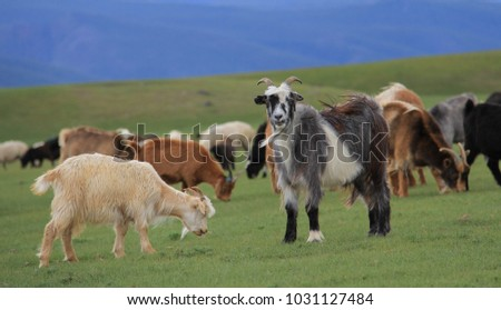 Grey and White Long Haired Goat #1031127484