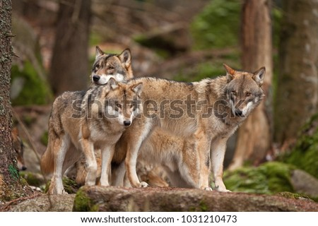 gray wolf, grey wolf, canis lupus #1031210473